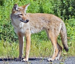 Coyote_051315A