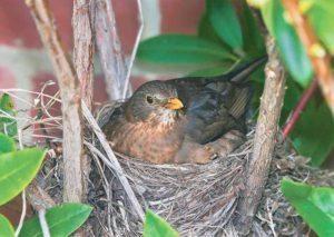 1024px-Turdus_merula_Nesting